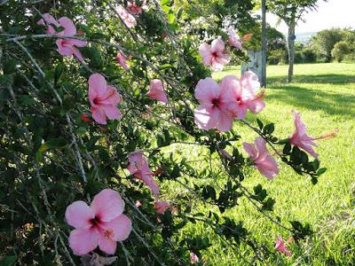 hibiscos 11